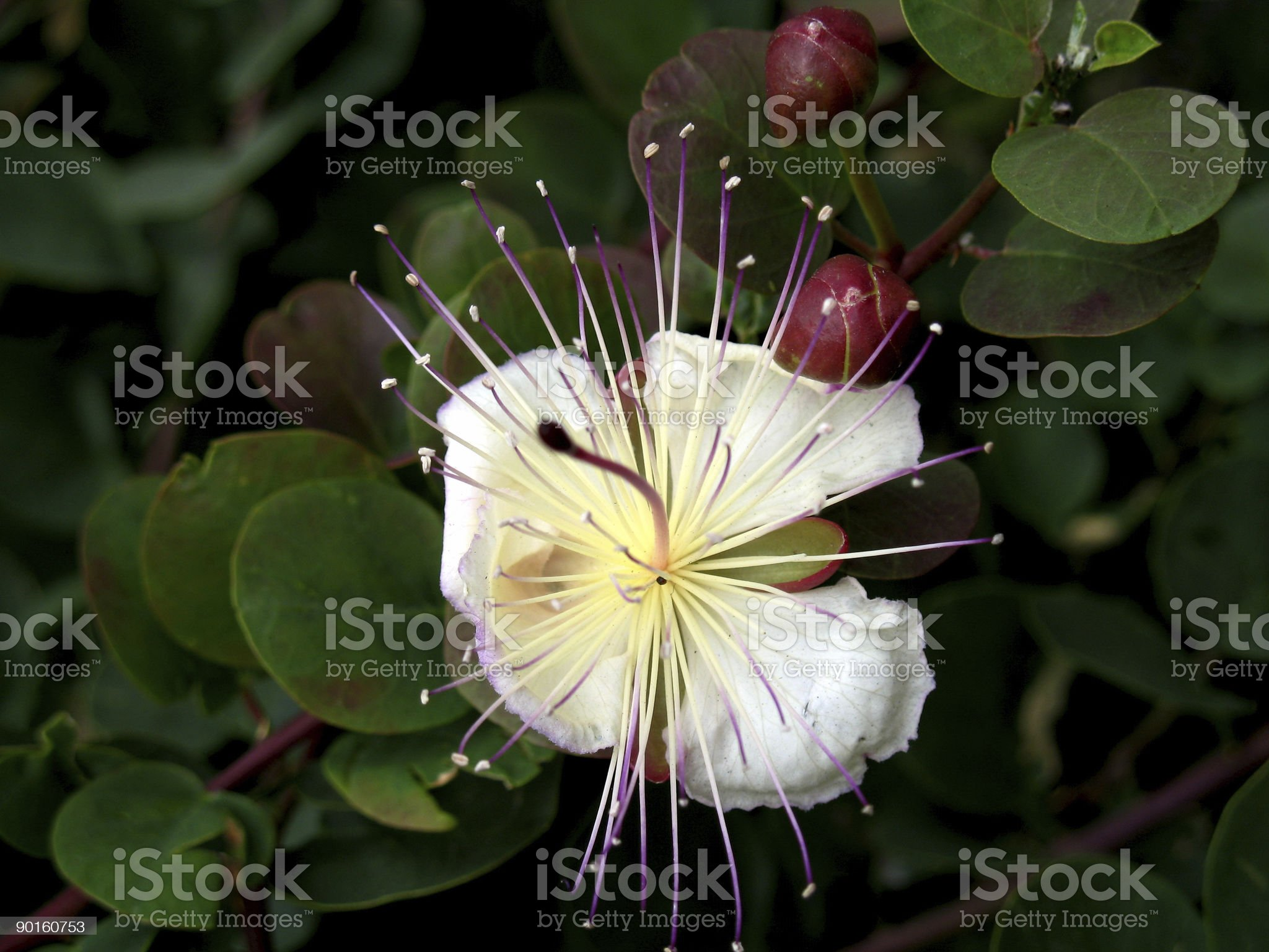 Caper flower royalty-free stock photo