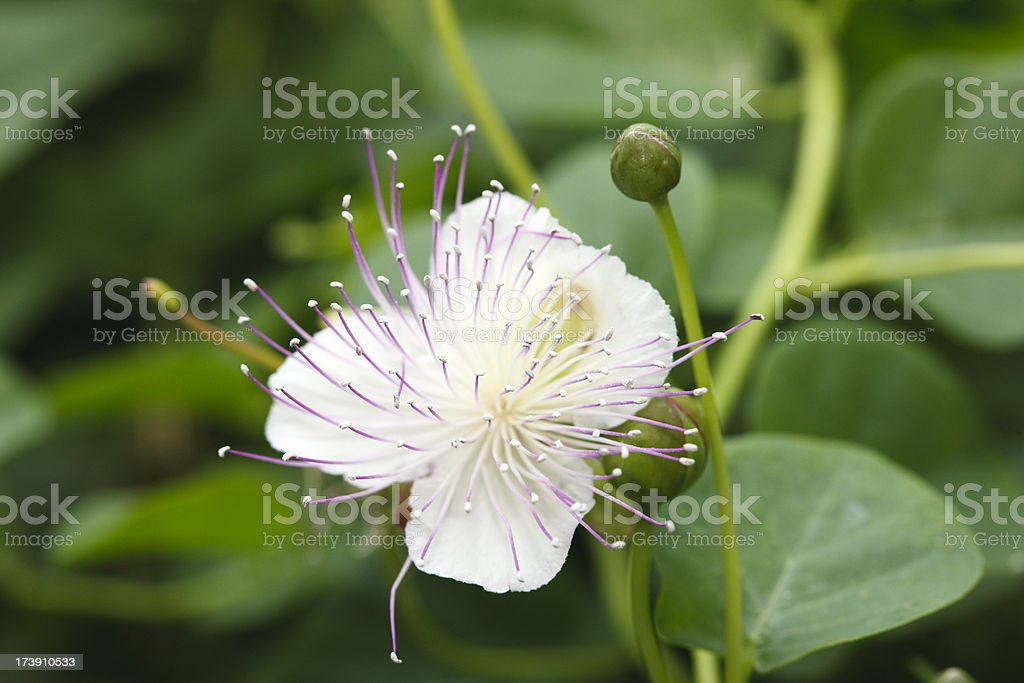 Caper (Capparis spinosa) royalty-free stock photo