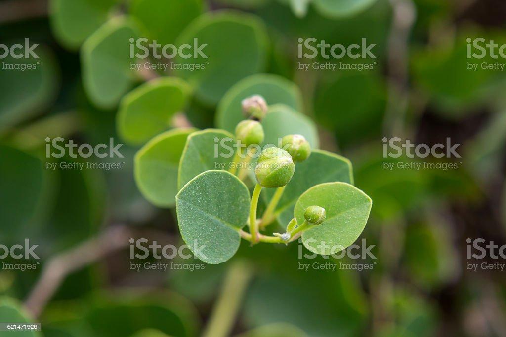 Caper plant stock photo