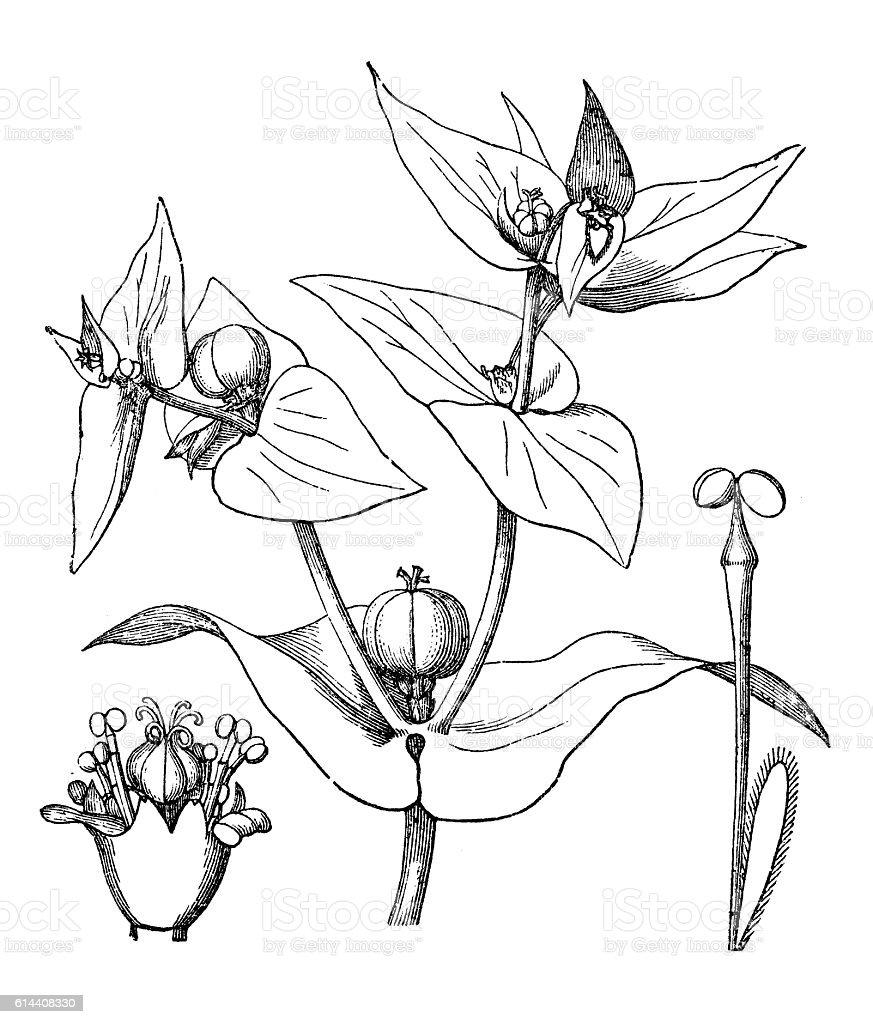 Caper spurge or paper spurge (Euphorbia lathyris) stock photo