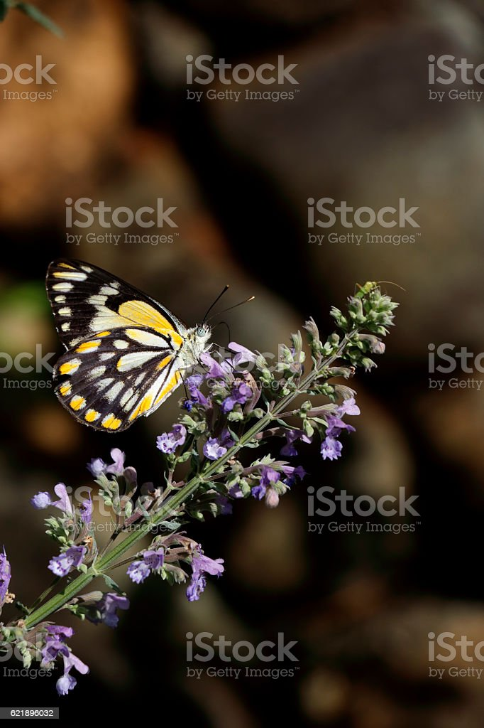 Caper White Butterfly on Catmint Flower Nepeta faassenii stock photo