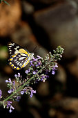 Caper White Butterfly on Catmint Flower Nepeta faassenii