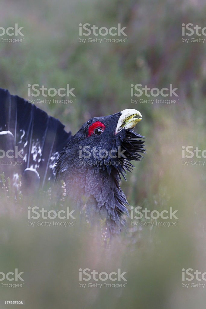 Capercaillie adult male displaying Scottish Highlands stock photo