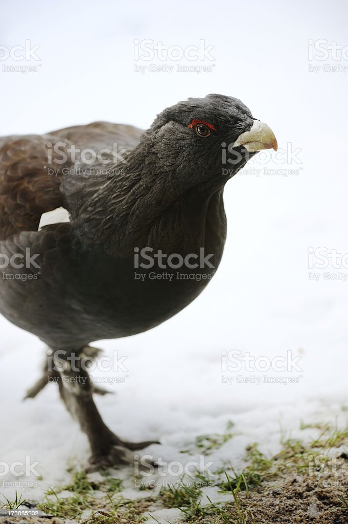 Capercaillie Grouse stock photo