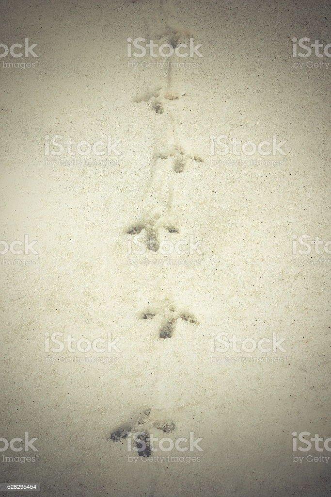 capercaillie tracks on snow stock photo