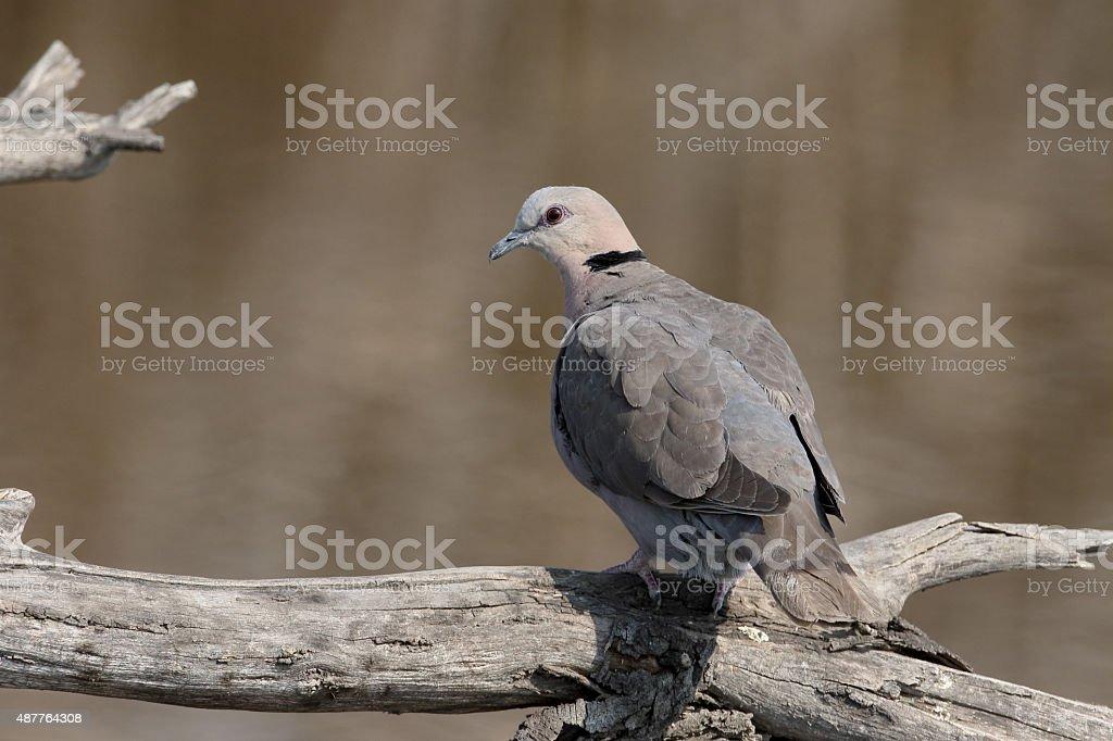 Cape-turtle dove or Ring-necked dove, Streptopelia capicola stock photo