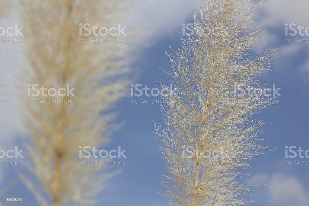 Capim Plumoso foto de stock libre de derechos