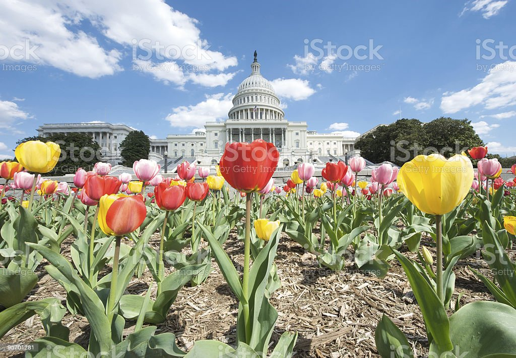 U.S. Capitol Wide Angle Landscape with Tulips stock photo