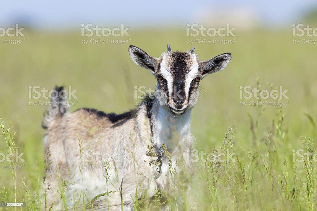 Capra aegagrus hircus, Goat. stock photo