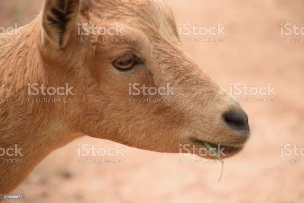 Capra aegagrus hircus hierba en la boca. stock photo