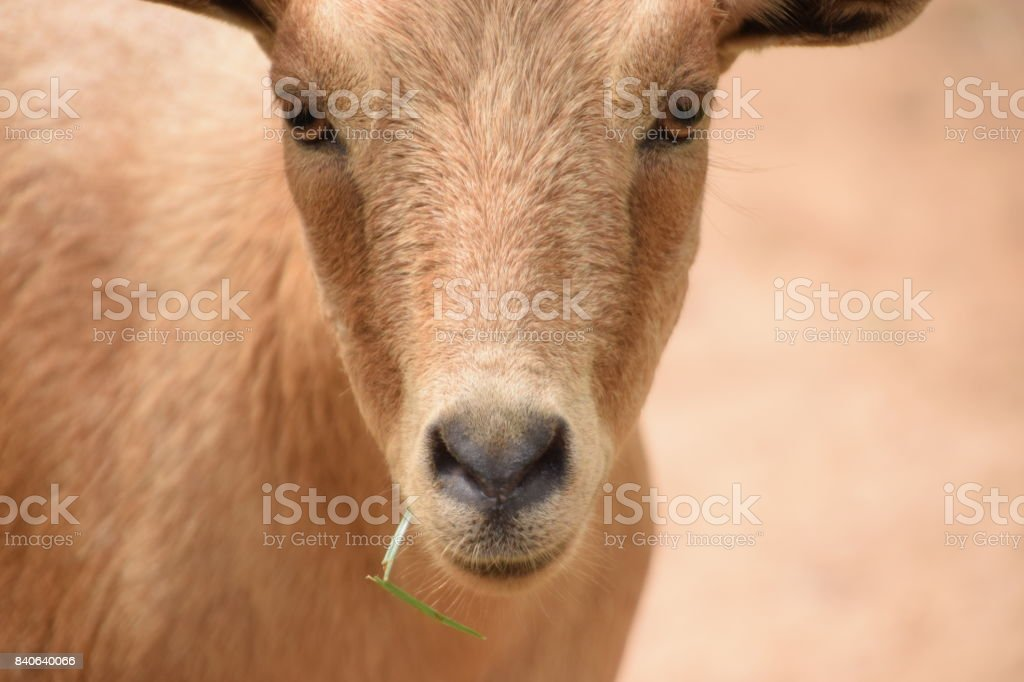 Capra aegagrus hircus  con una hierba en la boca mirando a la cámara. stock photo