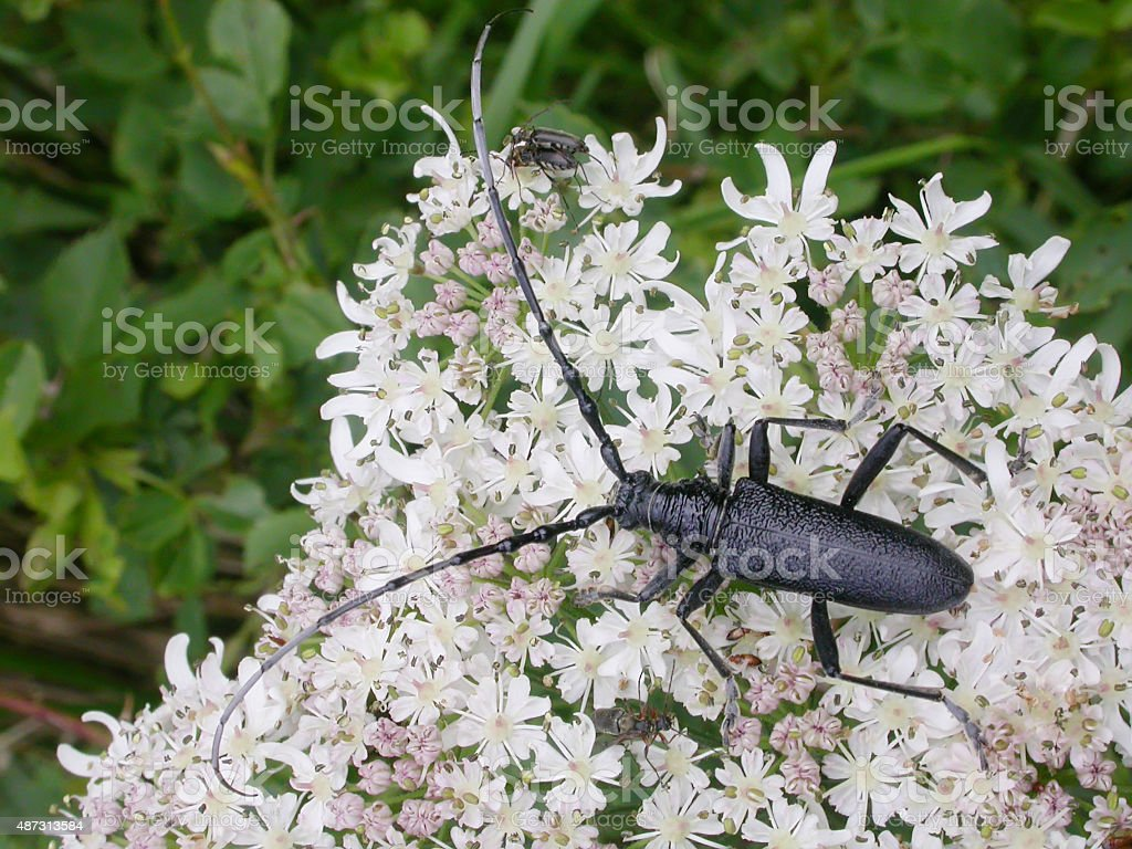 Capricon beetle (Cerambyx scopolii) stock photo