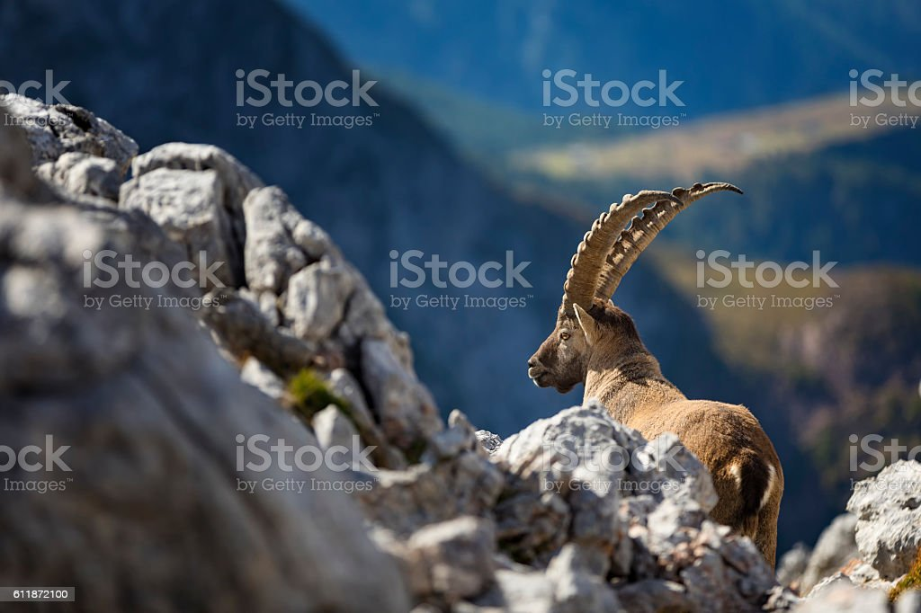 Steinbock - Alpine Ibex in Nationalpark Berchtesgaden (Capra ibex) stock photo