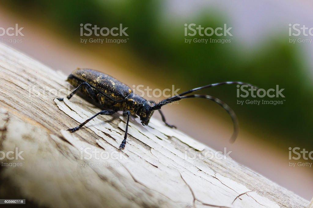 Capricorn beetle stock photo