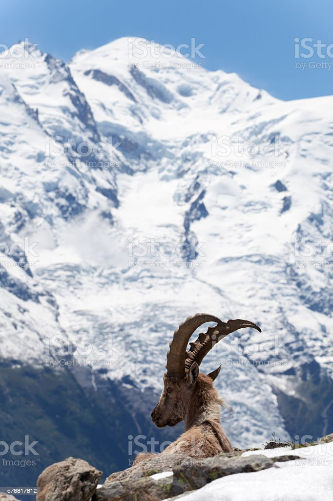 capricorn in the french alps stock photo
