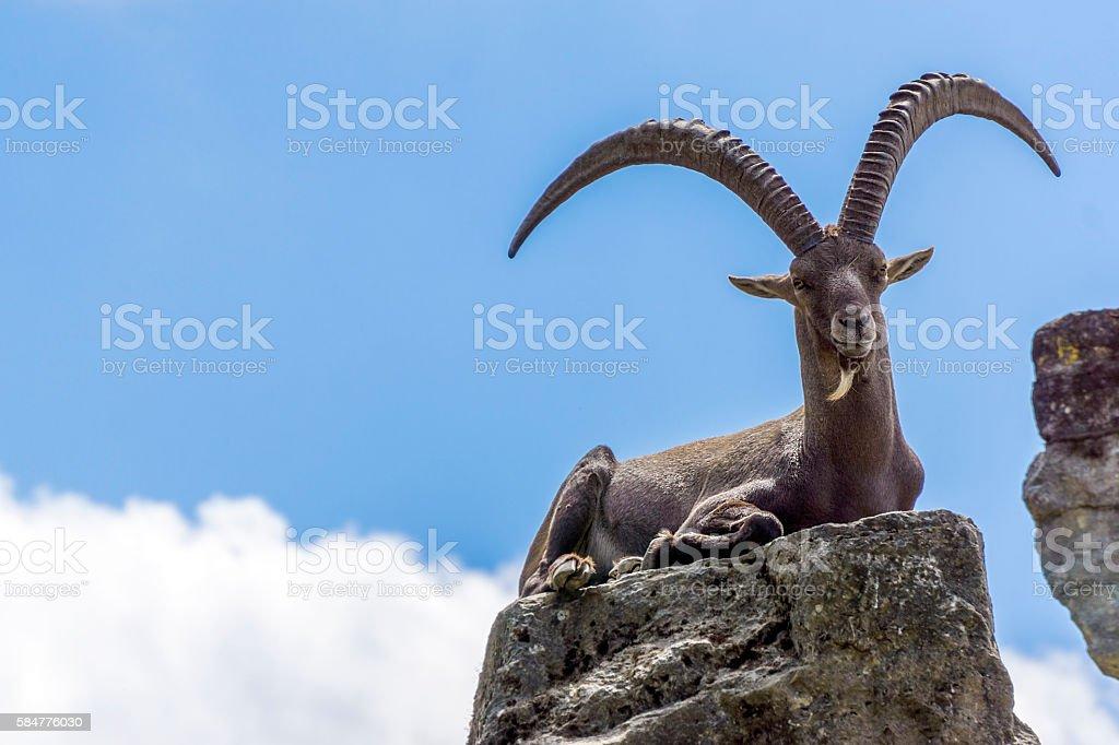 Capricorn stock photo
