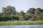 Caprivi Strip of Namibia Africa, Elephant on shore of Okavango