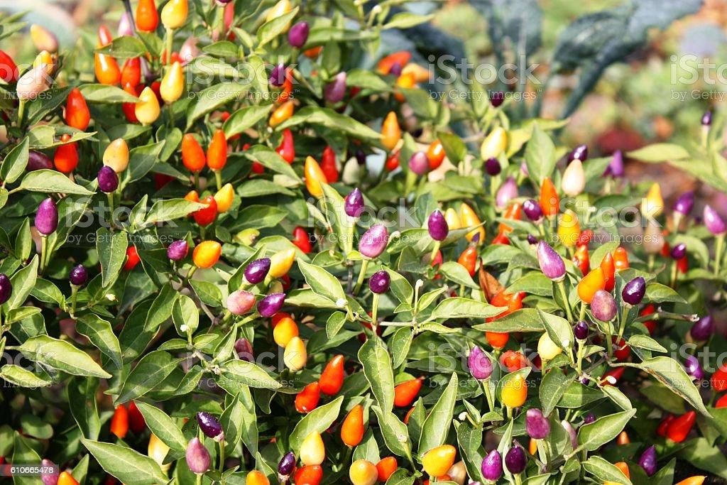 Capsicum annuum in the garden stock photo