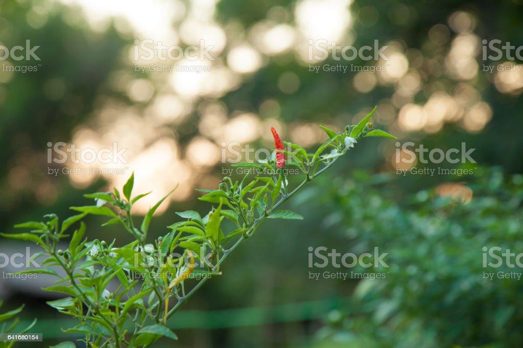 Capsicum annuum  (Thai pepper) stock photo