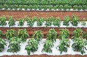 Capsicum crop