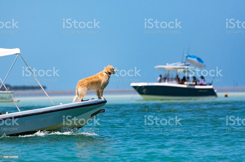 Captain golden retriever stock photo