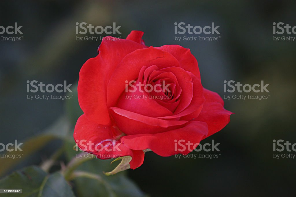 Captivating Wild Red Rose royalty-free stock photo