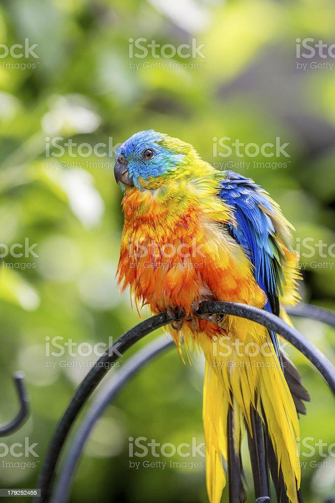 Captive Birds In Avery royalty-free stock photo