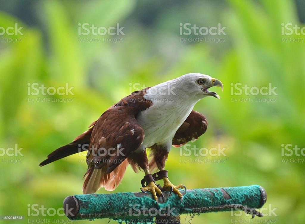 Captive eagle hawk on perch stock photo