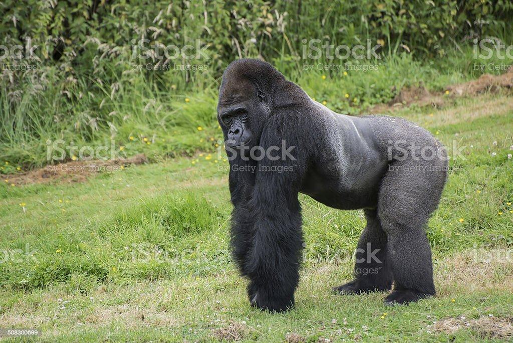 Captive endangered Western Lowland Gorilla stock photo