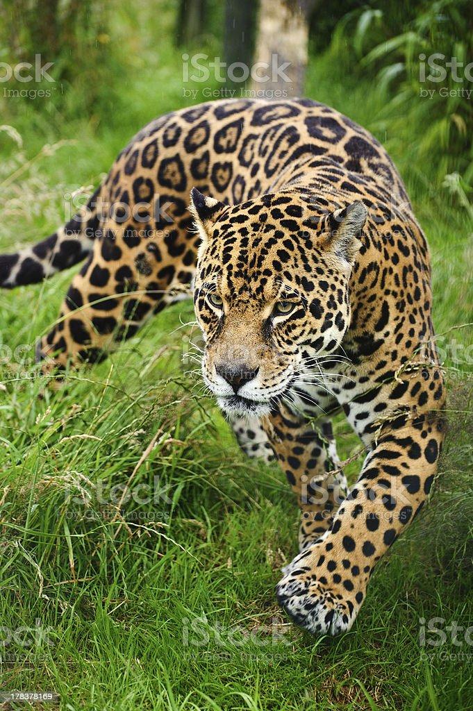 Captive jaguar, Panthera onca, stalking in grass stock photo