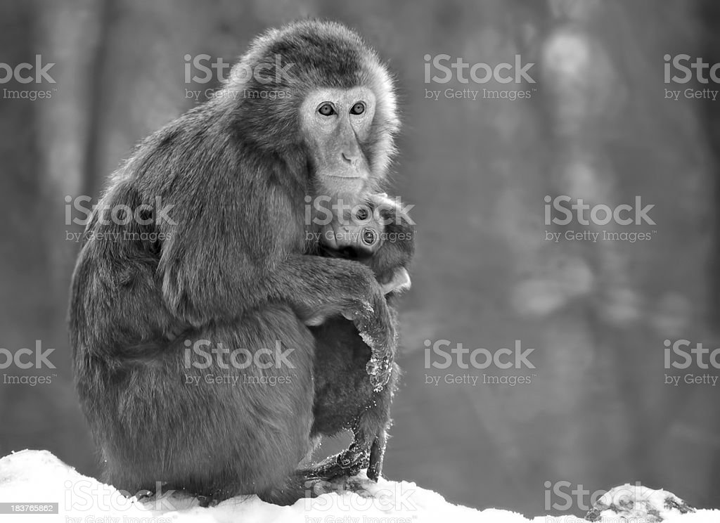 Captive Japanese Macaque (Macaca fuscata) royalty-free stock photo