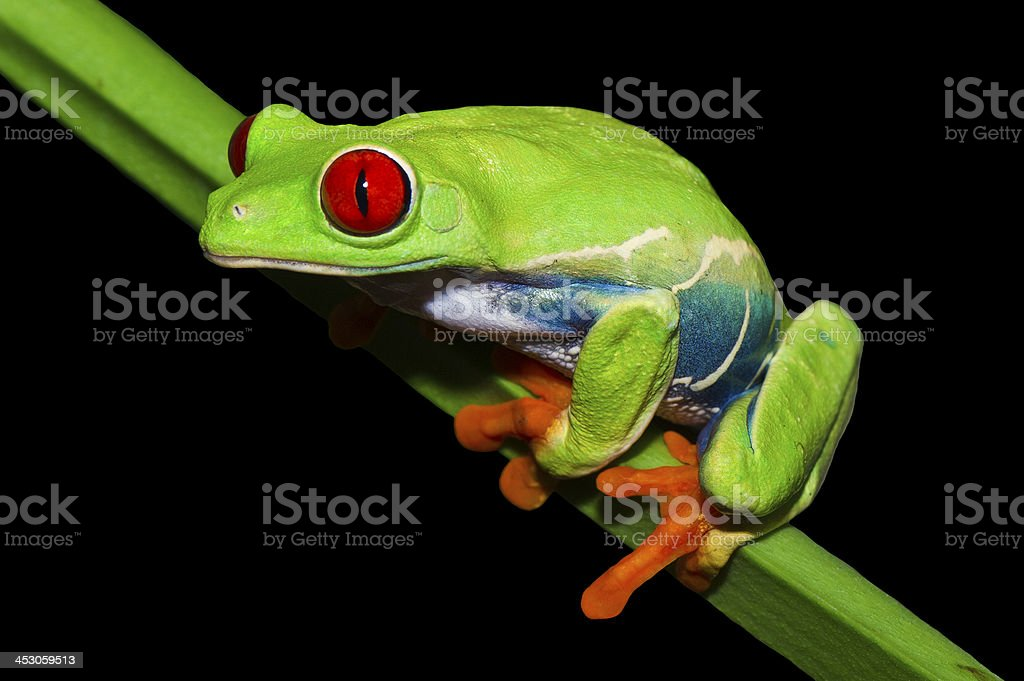 Captive Red-eyed Tree Frog royalty-free stock photo