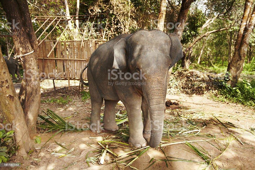 Captive Thai elephant chained to tree royalty-free stock photo