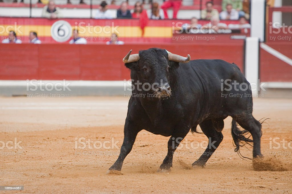 Capture the figure of a brave bull stock photo