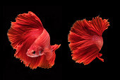 Capture the moving moment of fighting fish isolated