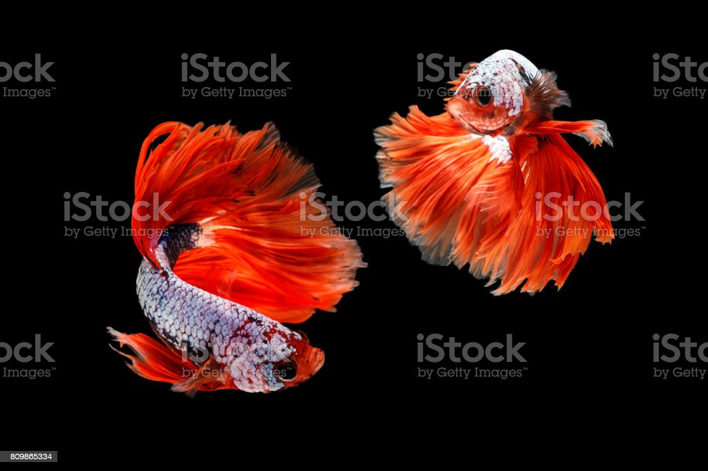 Capture the moving moment of siamese fighting fish, betta fish isolated on black background stock photo