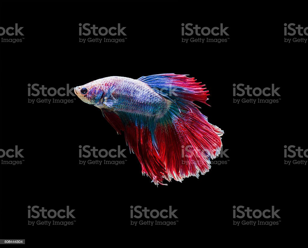 Capture the moving moment of white siamese fighting fish stock photo
