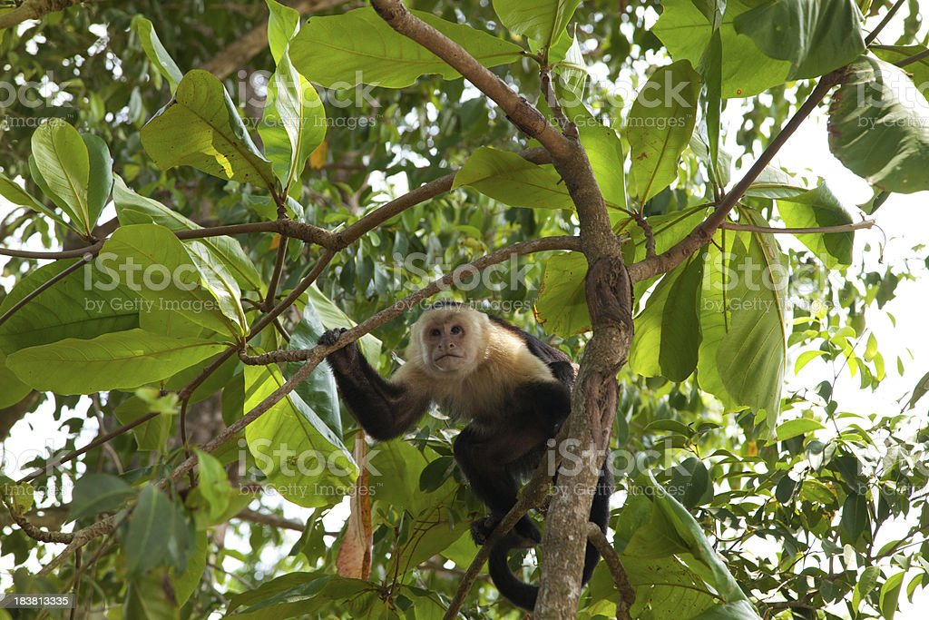 Capuchin Monkey Costa Rica stock photo