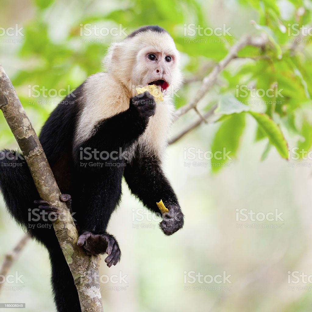 Capuchin Monkey eating Nachos Manuel Antonio National Park Costa Rica stock photo