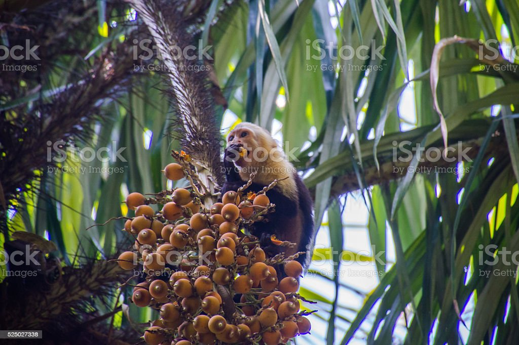 Capuchin Monkey Eating stock photo