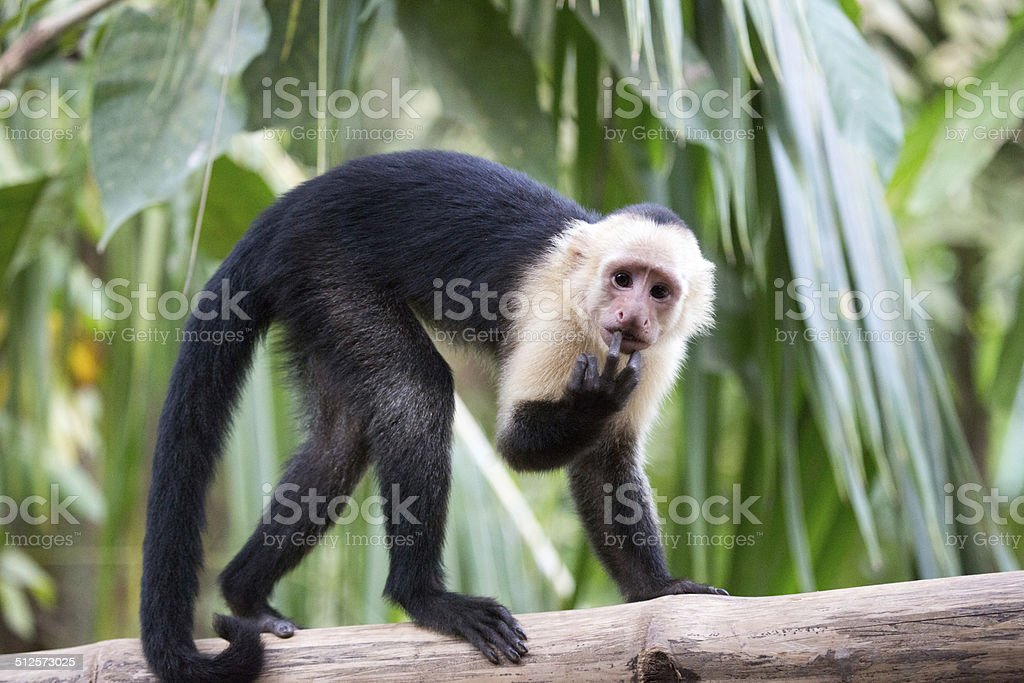 Capuchin monkey in Costa Rica  rm stock photo