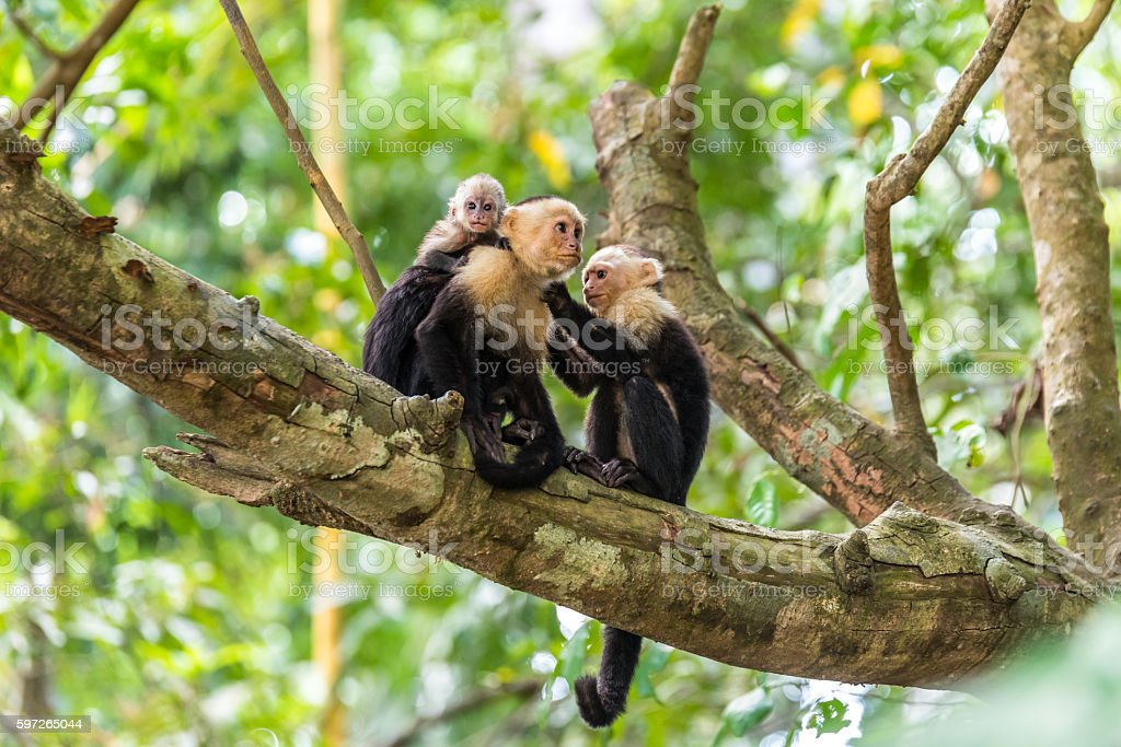 Capuchin Monkey on branch of tree - animals in wilderness stock photo