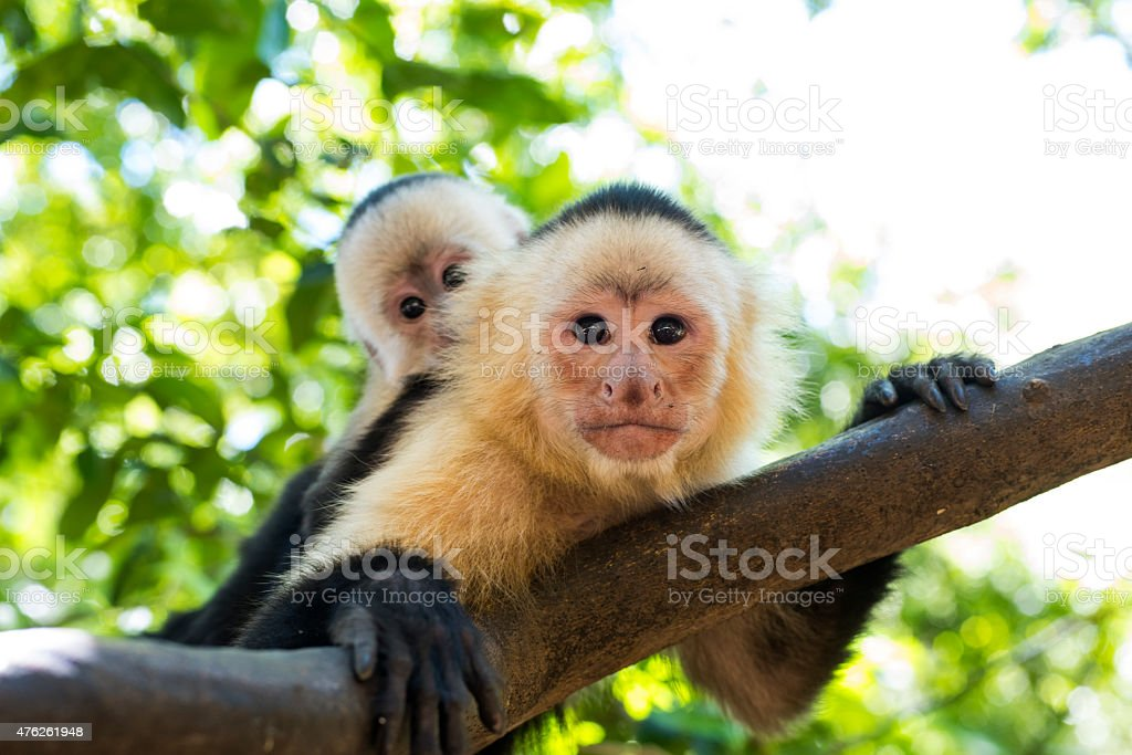 Capuchin Monkey stock photo