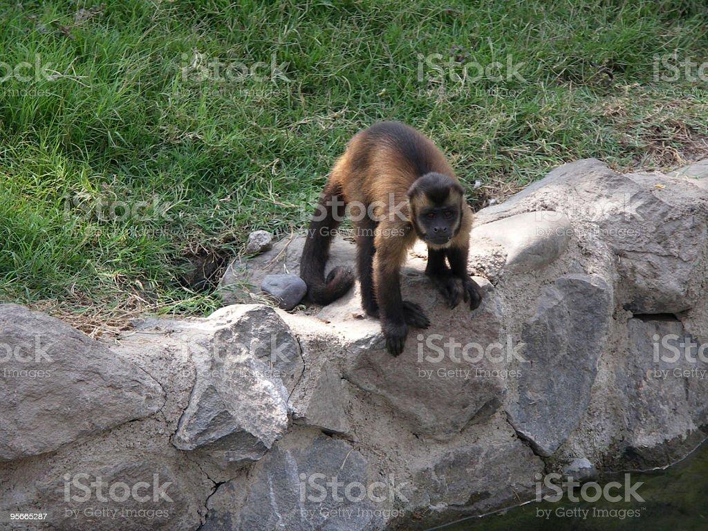 Capuchin Monkey royalty-free stock photo