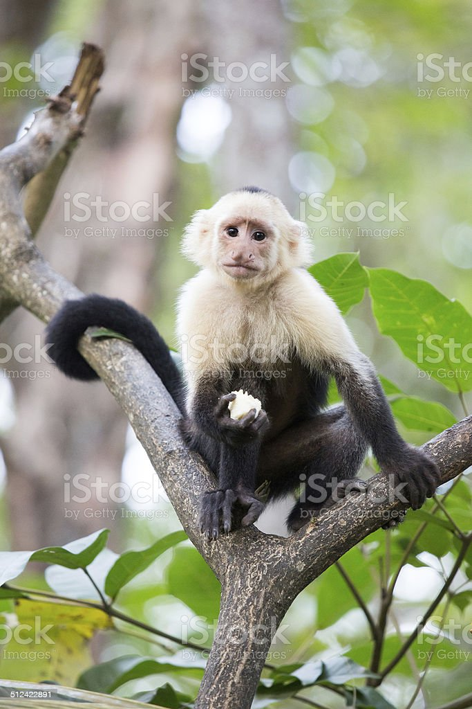 Capuchin monkey snacking in Costa Rica stock photo