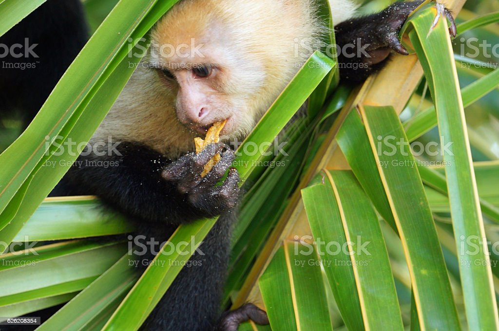Capuchin Monkey with a crisp stock photo