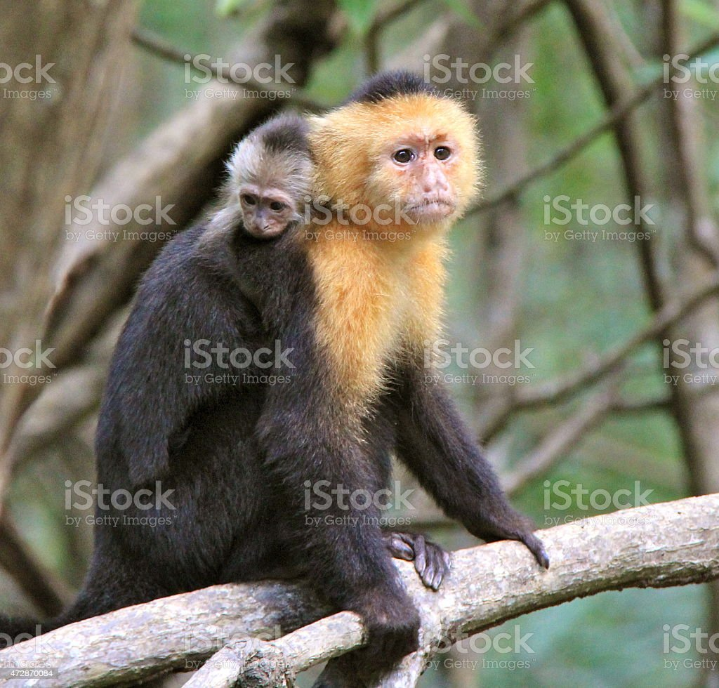 Capuchin Monkey With Her Baby stock photo