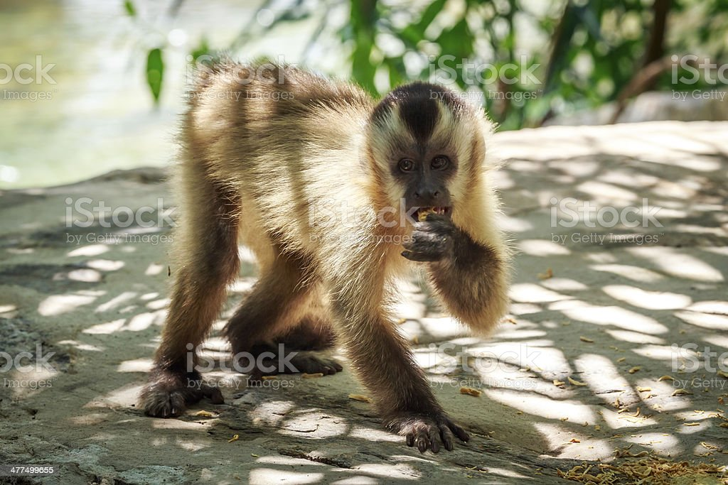 Capuchin Monkey,eating stock photo
