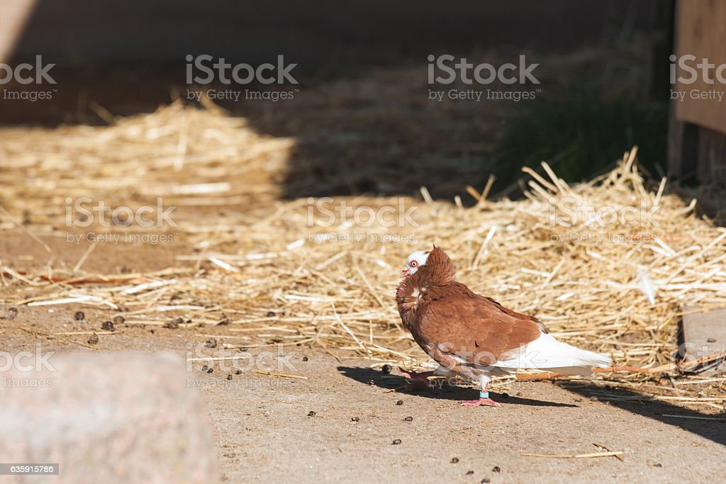 Capuchine pigeon with wihte head and brown feathers stock photo