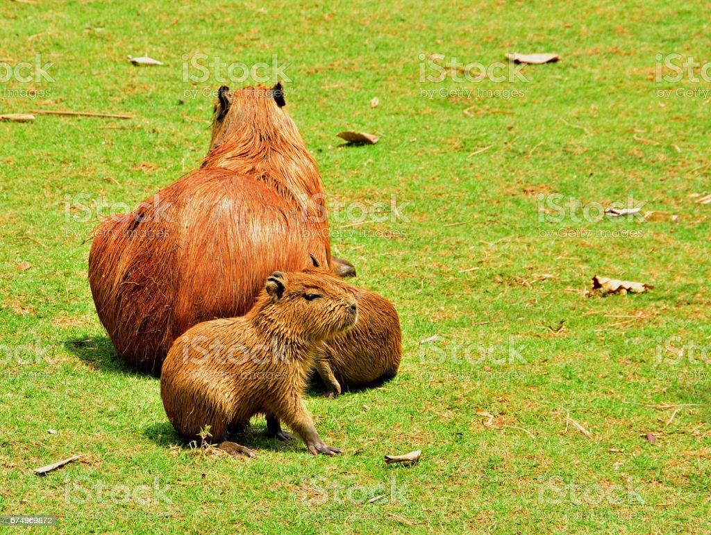 Capybara and family stock photo